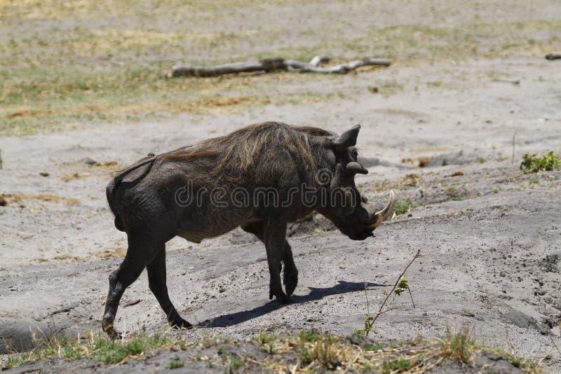 Wart Hog stock foto
