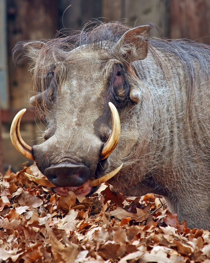 Wart Hog royalty free stock images