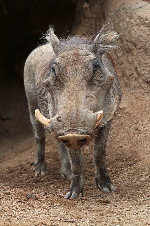 Wart Hog stock photo
