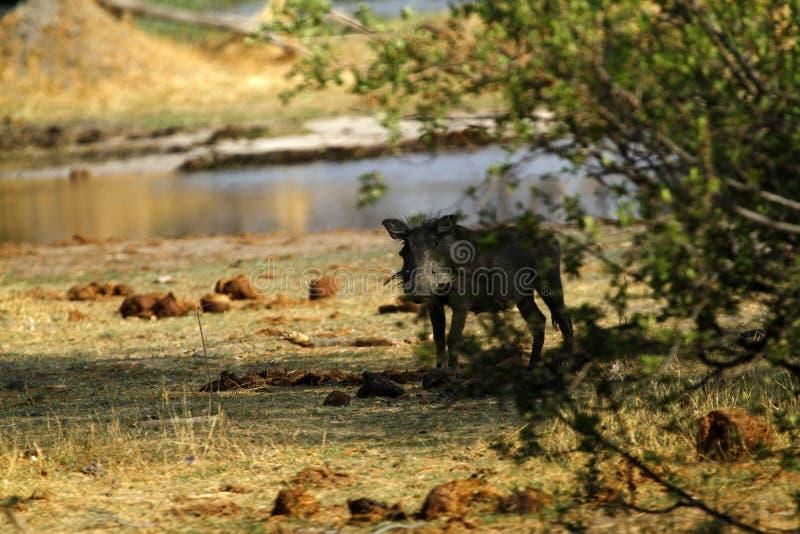 Wart Hog Family stock afbeelding