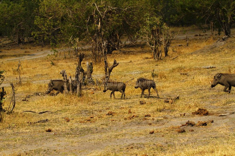 Wart Hog Family. The Wart hog is a wild member of the pig family found in Sub-saharan Africa stock image