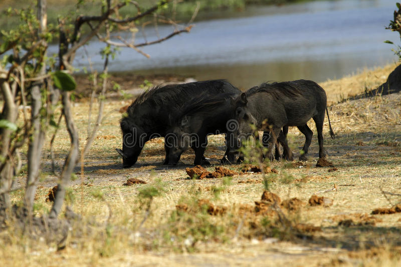 Wart Hog Family. The Wart hog is a wild member of the pig family found in Sub-saharan Africa royalty free stock photography