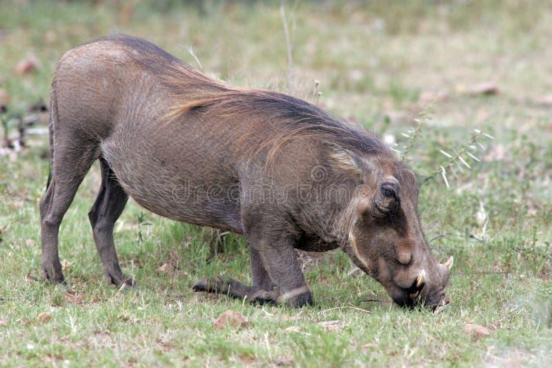 Wart Hog-het voeden bij het Nationale Park van Pilanesberg stock afbeeldingen