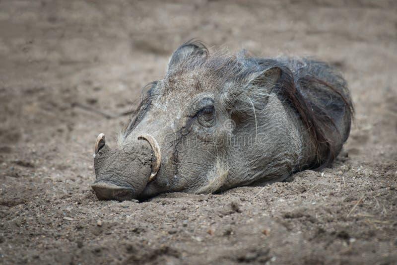 Wart hog stock images