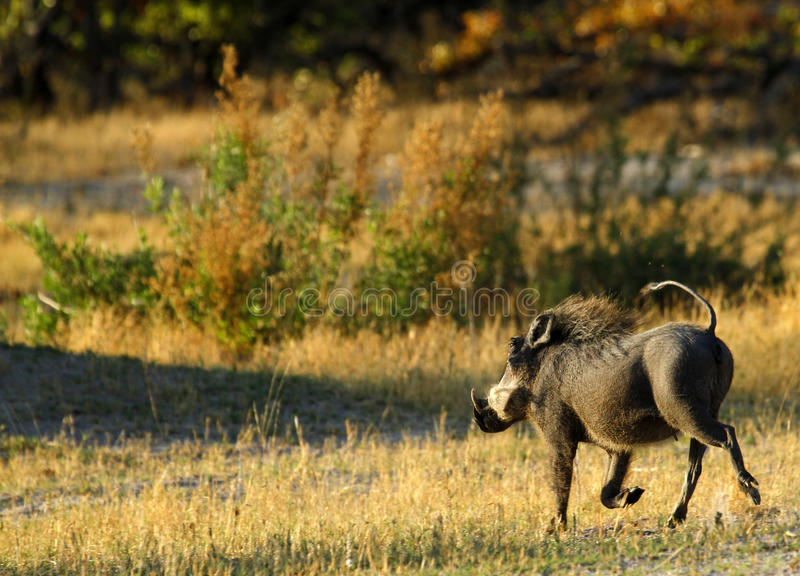 Wart Hog Running. The Wart hog is a wild member of the pig family found in Africa royalty free stock photos