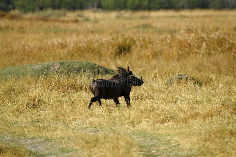 Wart Hog Safari Delight. The Wart hog is a wild member of the pig family found in Africa royalty free stock photo