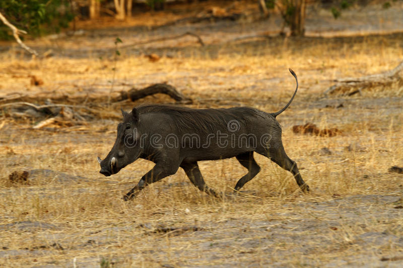 Wart Hog. The Wart hog is a wild member of the pig family found in Sub-saharan Africa royalty free stock photo