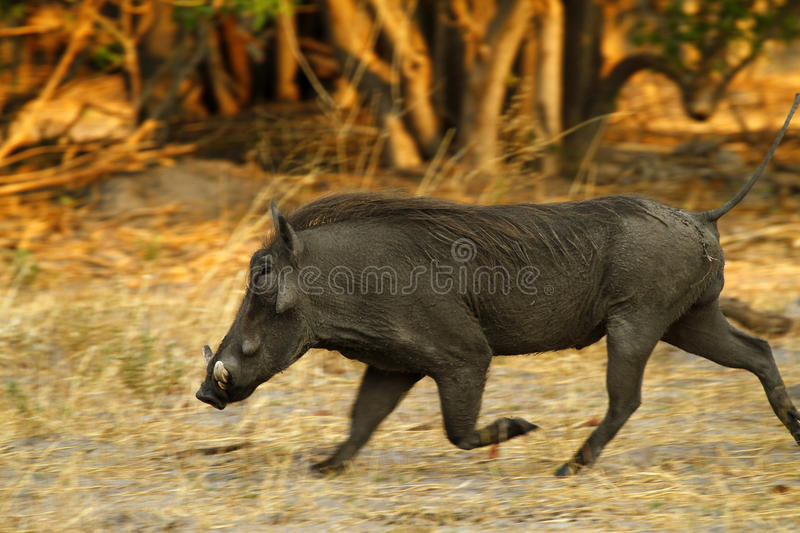Wart Hog. The Wart hog is a wild member of the pig family found in Sub-saharan Africa royalty free stock photography