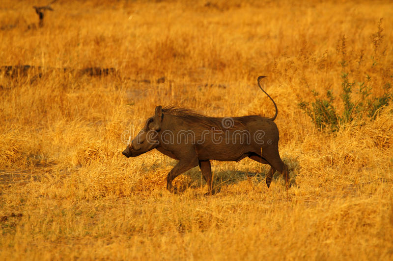 Wart Hog. The Wart hog is a wild member of the pig family found in Sub-saharan Africa royalty free stock photos