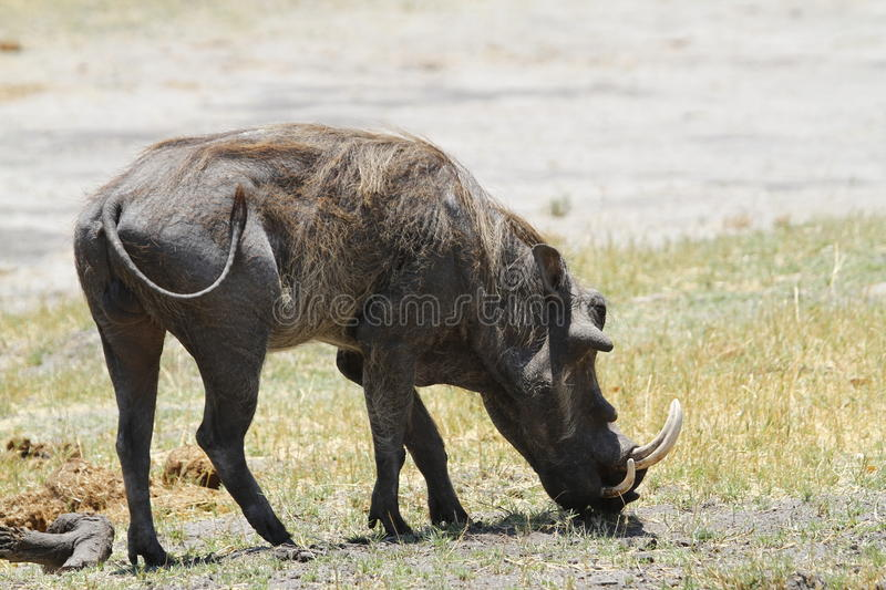 Wart Hog. The Wart hog is a wild member of the pig family found in Sub-saharan Africa stock photo
