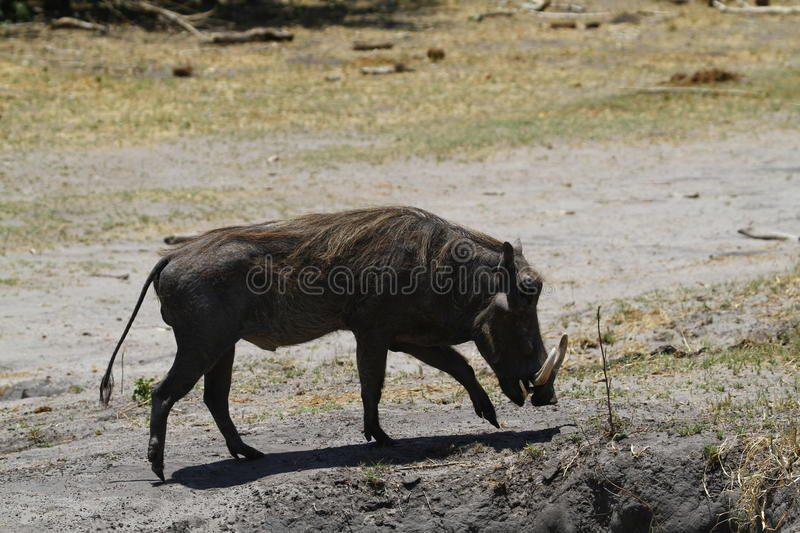 Wart Hog. The Wart hog is a wild member of the pig family found in Sub-saharan Africa stock photos