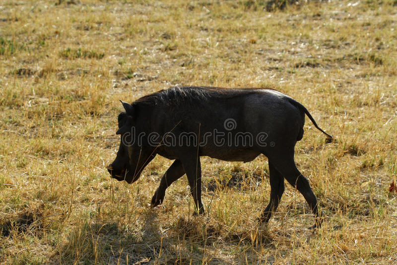 Wart Hog. The Wart hog is a wild member of the pig family found in Sub-saharan Africa stock images