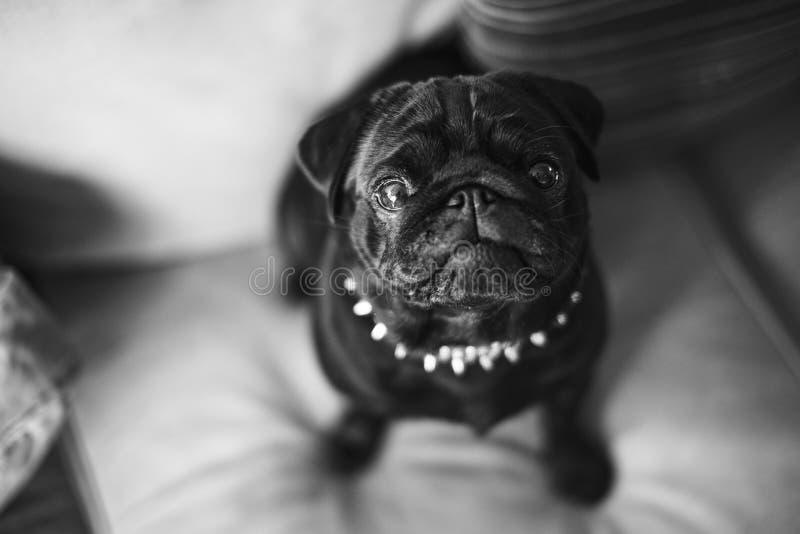 WarteSnack des neugierigen schwarzen Pug, der auf Sofa sitzt lizenzfreie stockbilder
