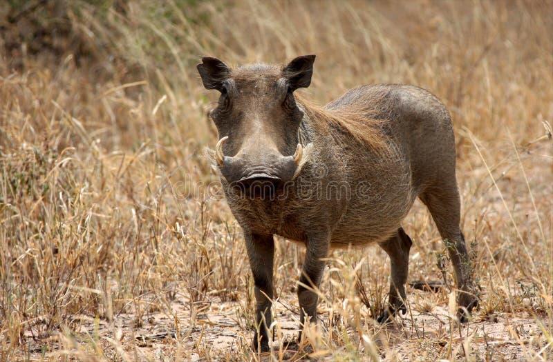 Warthog在坦桑尼亚国家公园 免版税库存图片