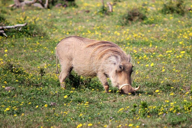 Warthog 免版税图库摄影