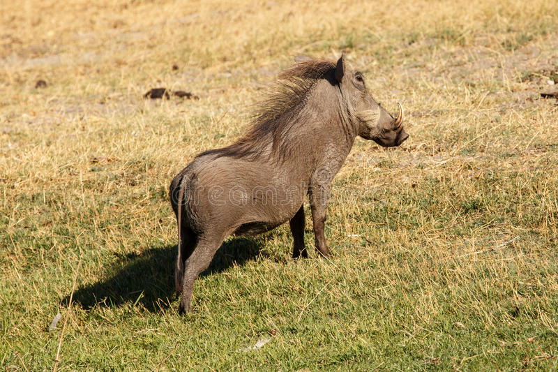 Warthog在Chobe N P 博茨瓦纳,非洲 图库摄影
