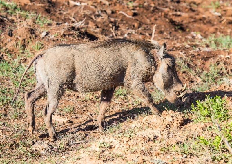 Warthog搜寻食物在Addo大象公园 免版税图库摄影