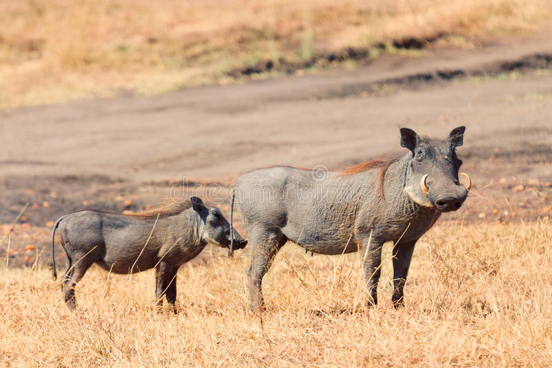 Warthog,马塞语玛拉 图库摄影