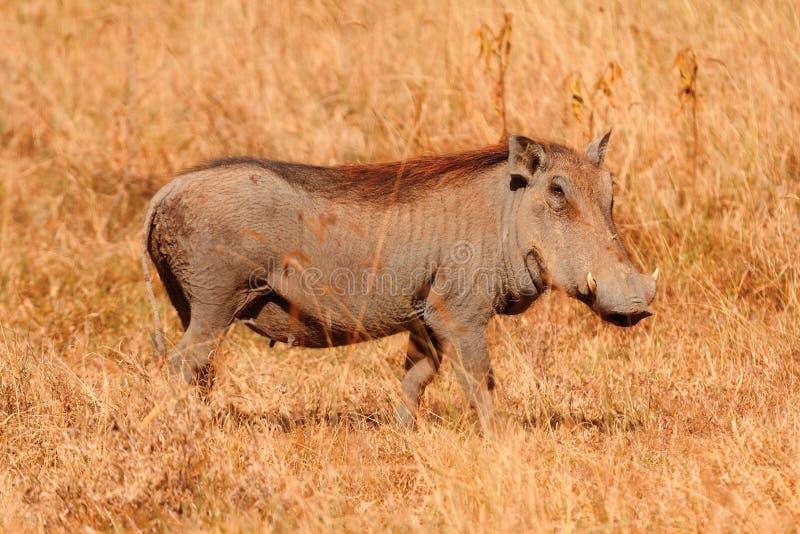 Warthog,马塞语玛拉 库存图片