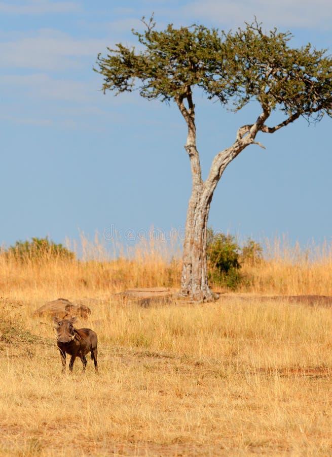 Warthog,马塞语玛拉 库存照片