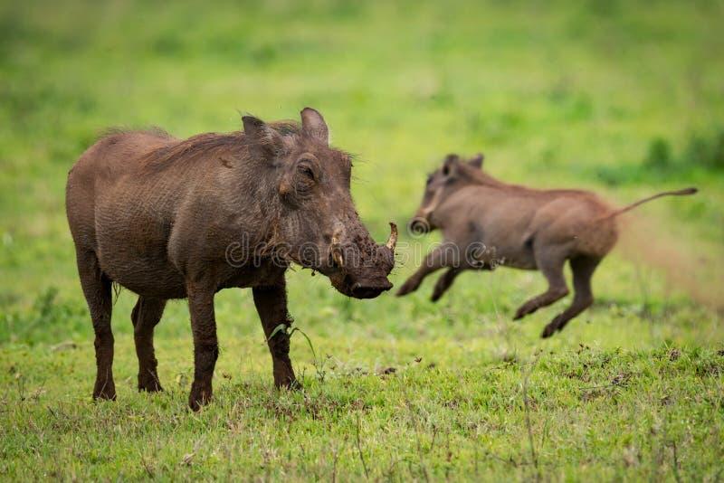 Warthog που αντιμετωπίζει τη κάμερα με το άλμα μωρών πίσω στοκ φωτογραφία με δικαίωμα ελεύθερης χρήσης