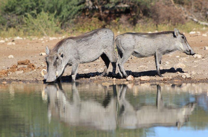 Warthog - африканская живая природа - отражение жизни стоковые изображения
