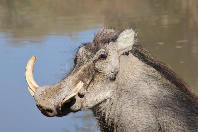 Warthog - африканская живая природа - сила бивня Potrait стоковые изображения rf