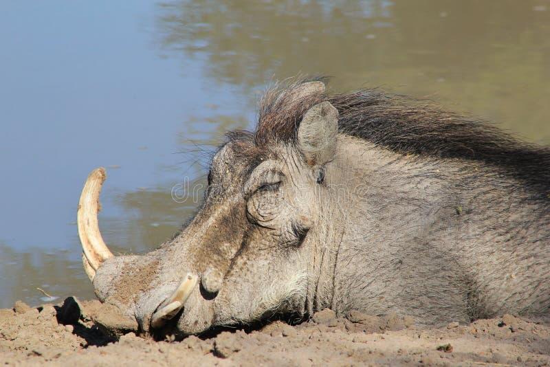 Warthog - африканская живая природа - спящая красавица стоковые фотографии rf