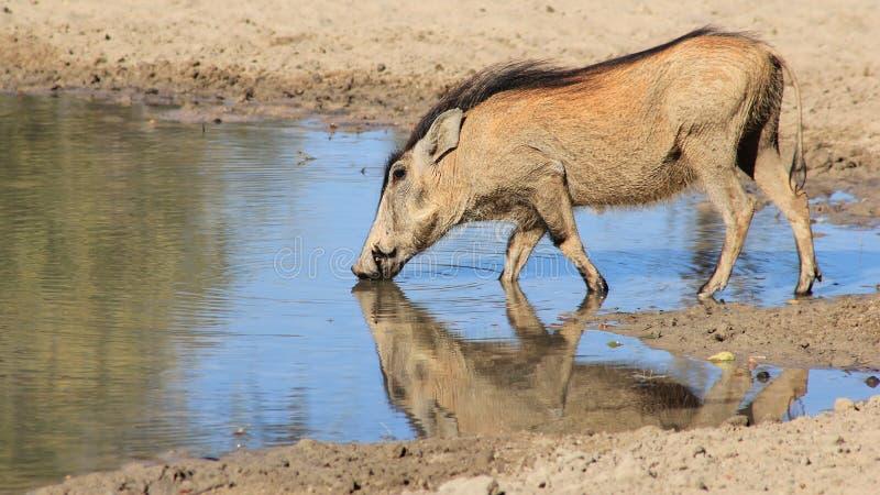 Warthog - африканская живая природа - Potrait цвета стоковое изображение