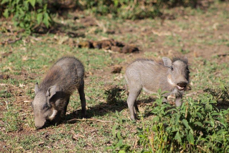 Warthog в африканском кусте стоковая фотография