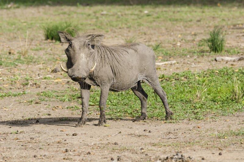 Warthog в запасе игры Selous стоковое изображение rf