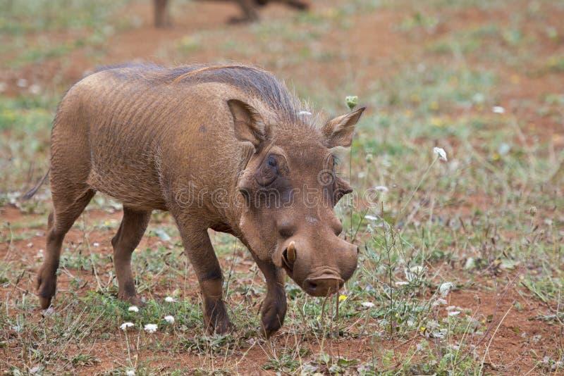 Warthog в саванне стоковое фото rf