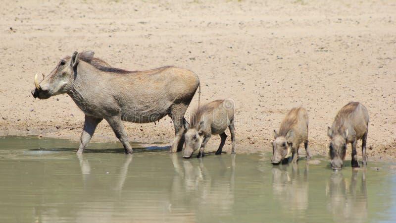 Warthog - животные мама и младенцы (поросята) стоковое изображение rf