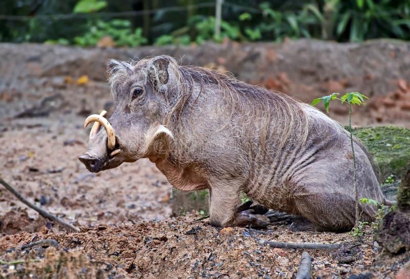 Warthog, или африканское warthog, или абиссинское †africanus Phacochoerus warthog» вид семьи свиней стоковые фотографии rf