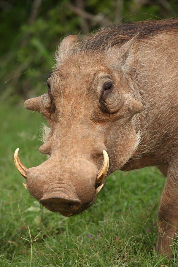warthog портрета стоковое фото rf