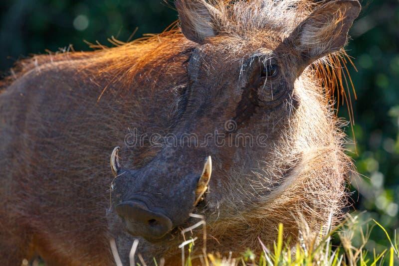 Warthog стоя косой в длинной траве стоковые изображения