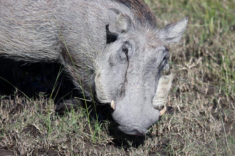 Warthog (共同的Warthog)哺养 三角洲okavango 库存图片