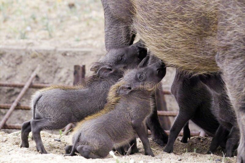 Warthog (非洲野猪属africanus)婴孩哺养 免版税库存图片