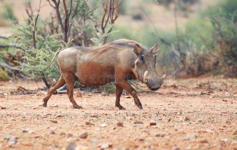 warthog photographie stock libre de droits