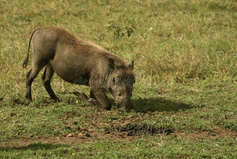 warthog arkivfoto
