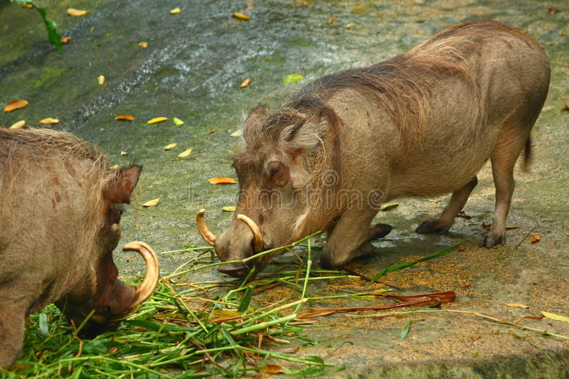 Download Warthog stock photo. Image of wallow, ecology, southern - 14248334
