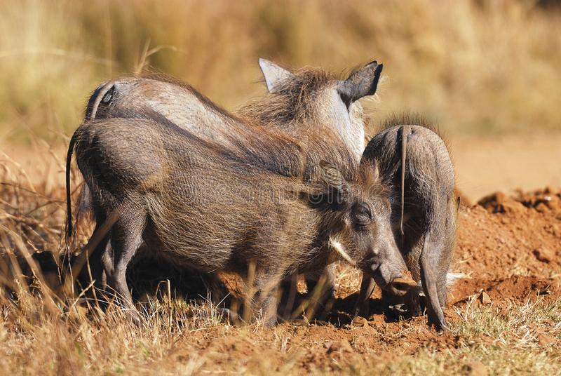 Download Warthog stock image. Image of portrait, area, mammal - 14834525