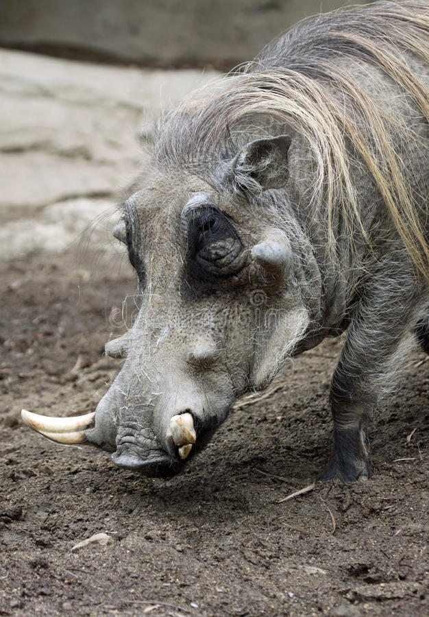 Download Warthog Royalty Free Stock Photography - Image: 16644737
