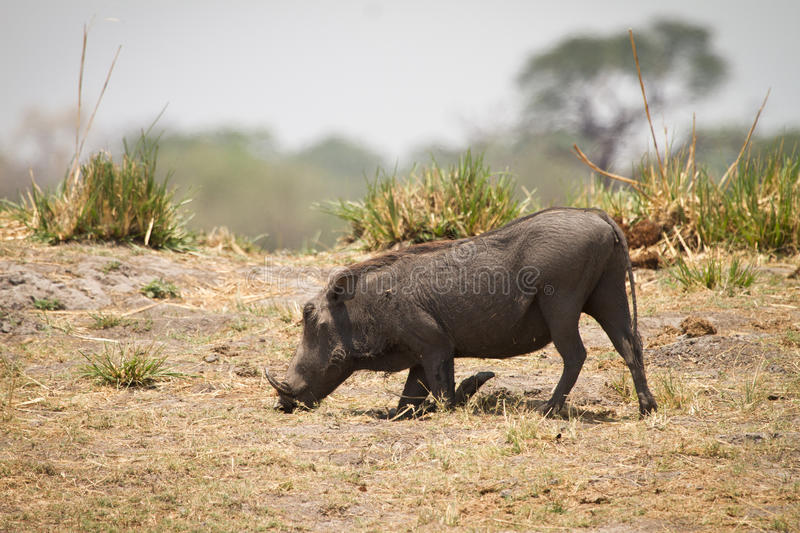 Download Warthog stock photo. Image of digging, teeth, hungry - 17927370