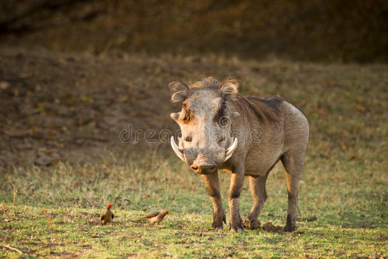 Warthog foto de stock royalty free