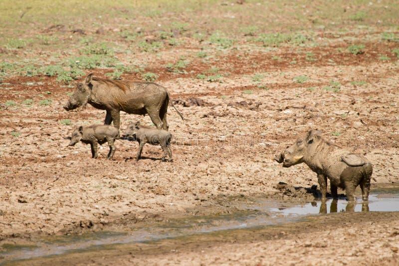 Download Warthog Stock Photography - Image: 18387172