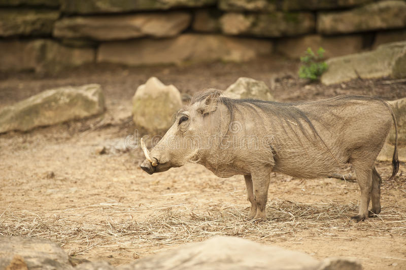 Download Warthog stock image. Image of standing, mammal, omnivore - 23943333
