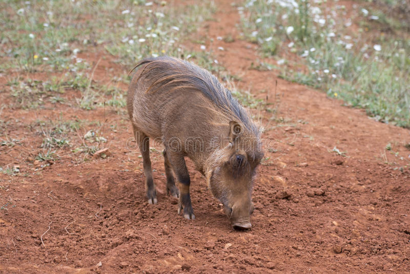 Download Warthog stock image. Image of nasty, foul, protrusions - 26587539