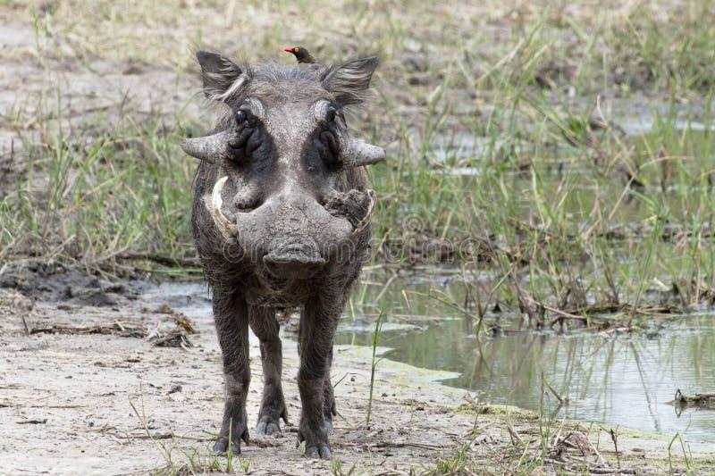 Download Warthog Stock Photo - Image: 27537150