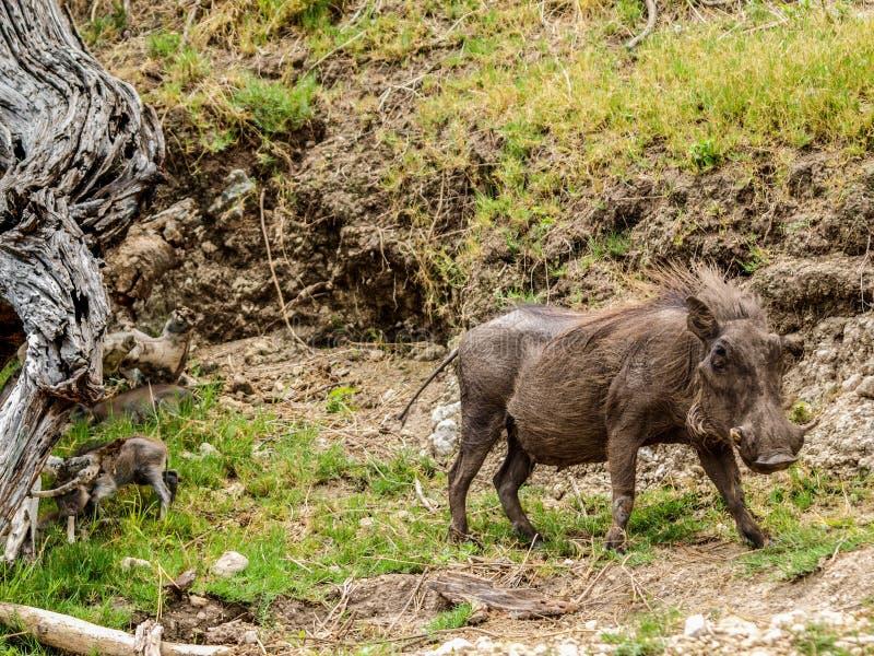 Warthog royalty free stock photography